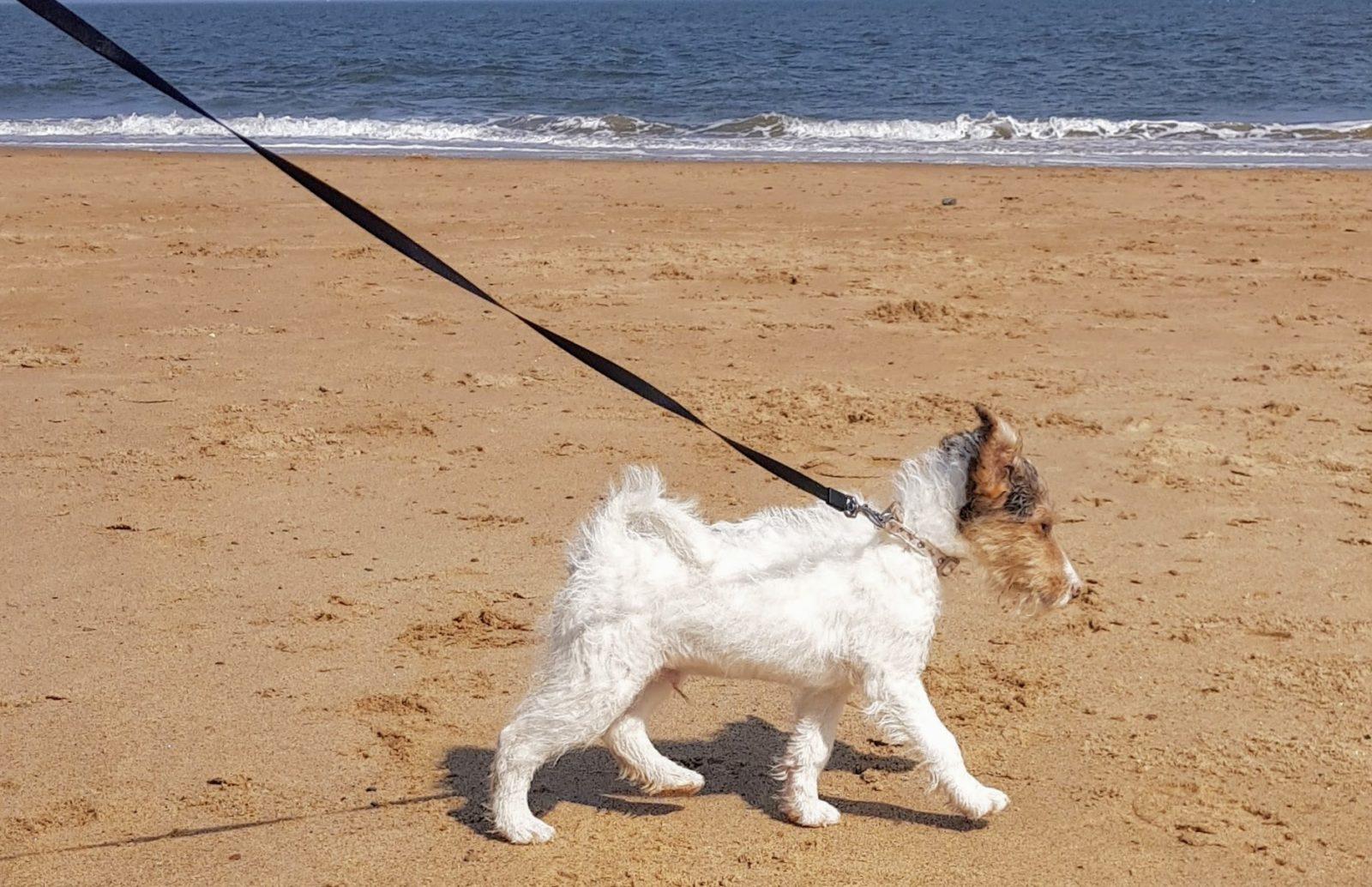 fox terrier puppy on the beach